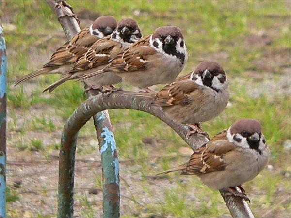 雀の仲良し画像