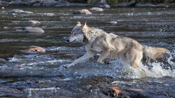 シカが増えすぎてオオカミを再導入した国立公園 生態系完全復活 日本もオオカミ導入しよう