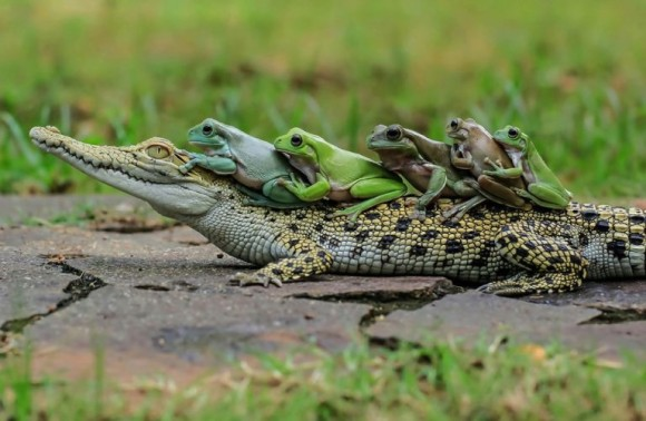 ワニの背中にのるカエル横