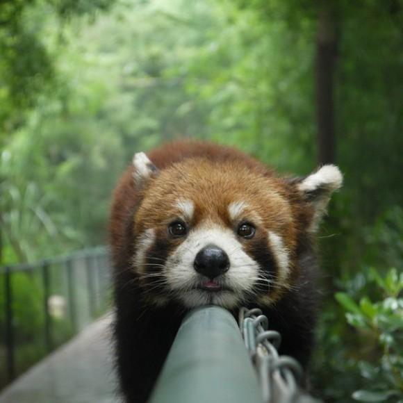 正面から見たレッサーパンダ