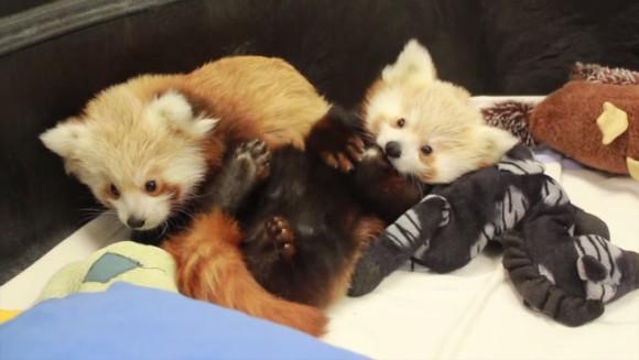 じゃれるレッサーパンダの赤ちゃん