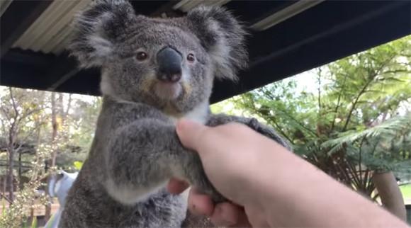コアラと握手