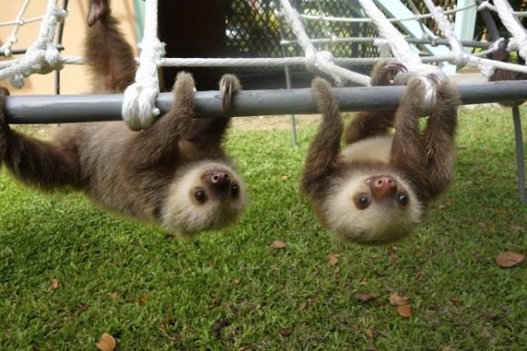 ぶら下がるナマケモノの赤ちゃん