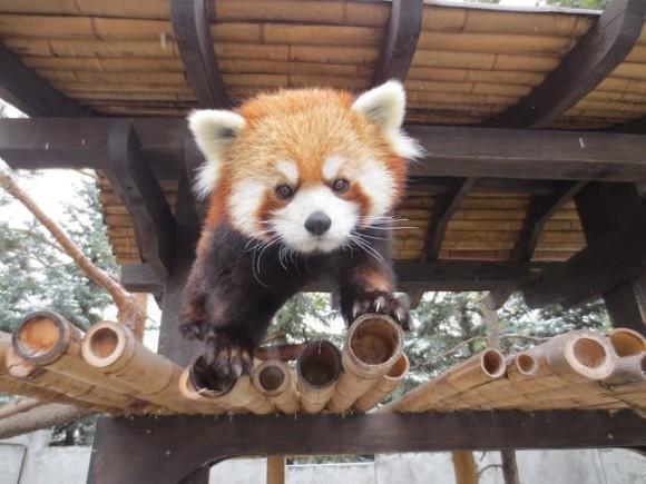 竹の上を歩くレッサーパンダ