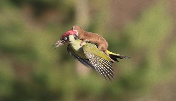 イタチ鳥に乗る