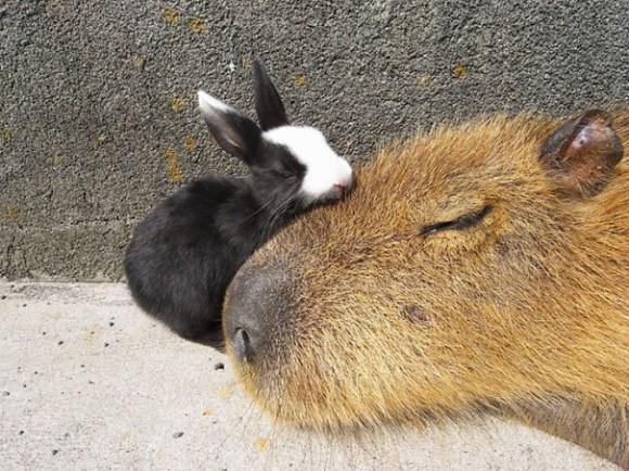 カピバラになつくウサギ