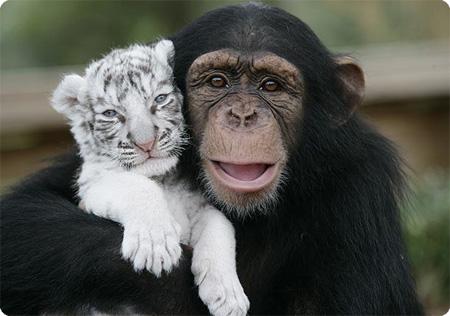 ホワイトタイガーとチンパンジー
