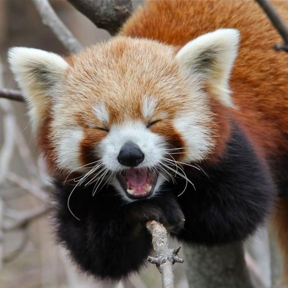 すごく笑顔のレッサーパンダ