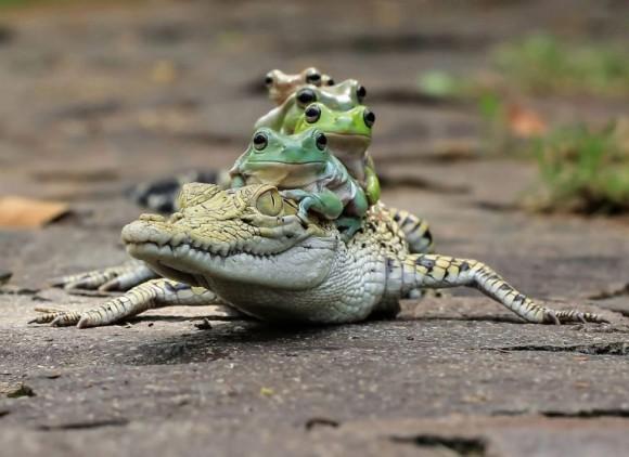 ワニの背中にのるカエル
