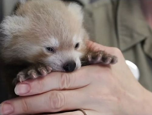 抱きかかえられたレッサーパンダの赤ちゃん